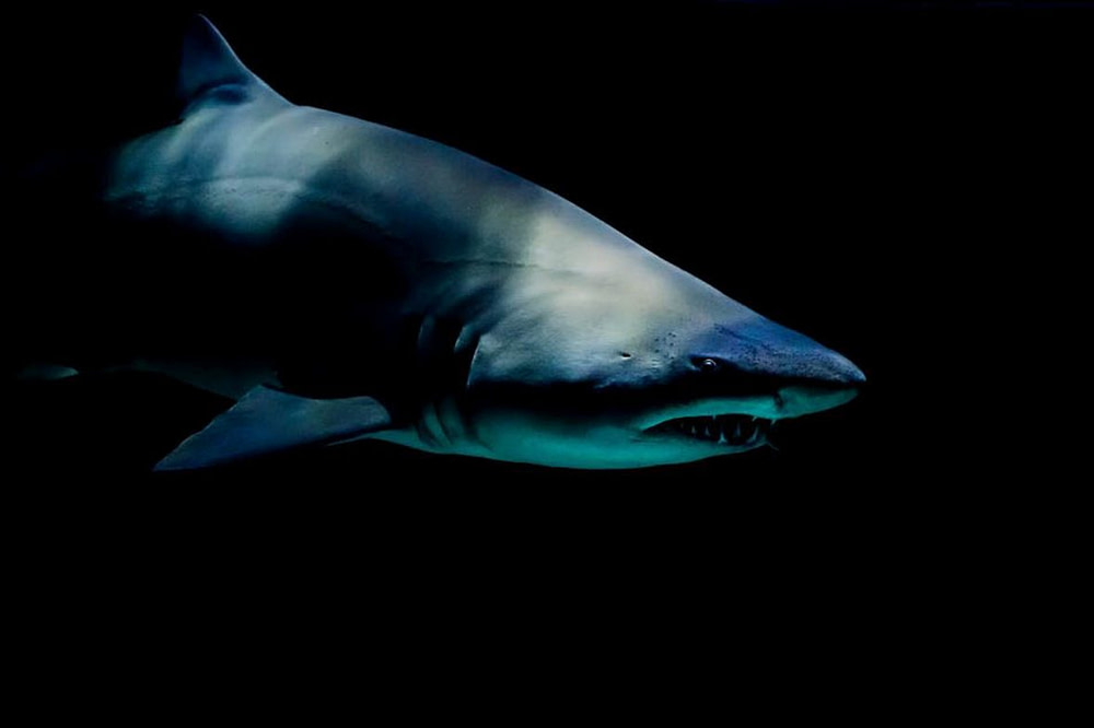 Great white shark swimming in the ocean.